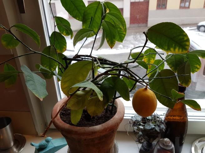 En mogen citron på en planta som står i ett fönster.
